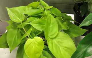Philodendron 'Lemon' neo coloured - Photo courtesy of Kathy Fediw