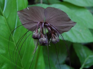 3. Tacca chantrieri - Meneerke bloem via WikiMedia Commons-copy