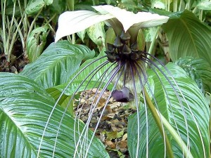 4. Tacca integrifolia - White Bat Plant - University of Melbourne