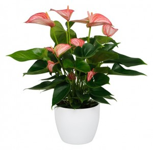 2. Anthurium Livium from Anthura