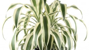 3. Dracaena White Aspen from Costa Farms