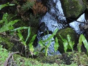 3.Here Microsorum pustulatum is seen growing as a lithophytic plant on a rock (Image: Ludovic Vilbert, Inwardout Studio)