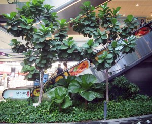 Enormous fiddle leaf escalator